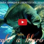 PESCA SUBACQUEA: SARAGHI A LIBERO ESTATE 2016 BY..Alberto Galante